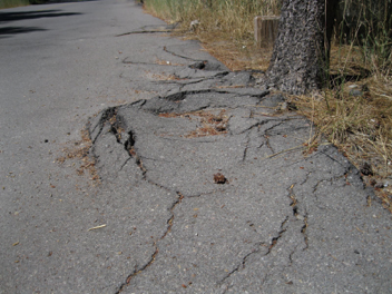 TREE ROOTS Top Causes of Asphalt Paving Deterioration